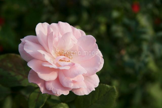 ピンク色の花の写真素材 [FYI01368591]