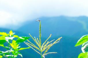 トウモロコシの写真素材 [FYI01368837]
