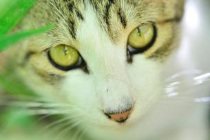 新緑の葉っぱのなかから顔を出すネコの写真素材 [FYI01370326]