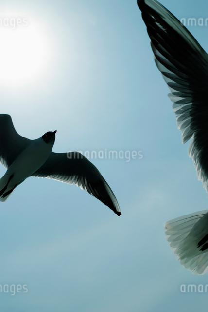 空を舞う2羽のカモメの写真素材 [FYI01370867]