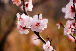 梅の花の写真素材 [FYI01371437]