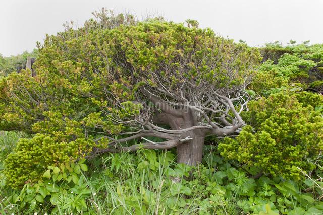 焼尻島のオンコの写真素材 [FYI01371754]