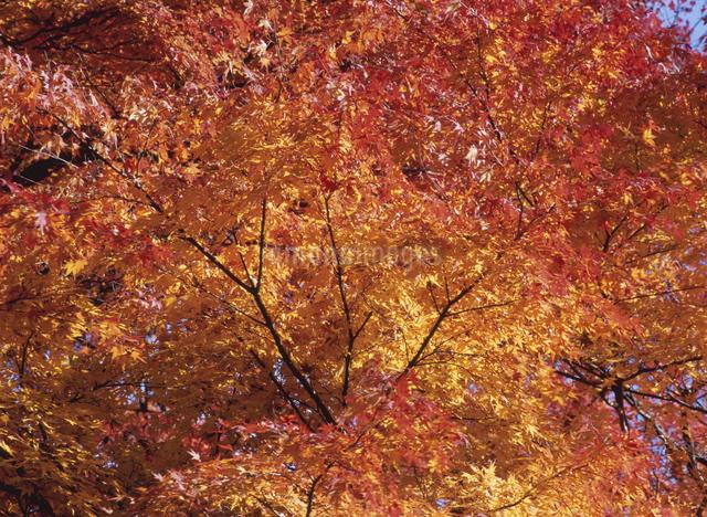 紅葉の写真素材 [FYI01371844]
