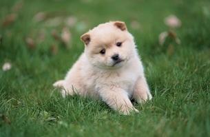 子犬の写真素材 [FYI01372146]