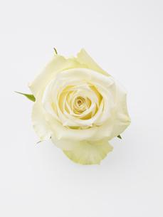 白いバラの写真素材 [FYI01372574]