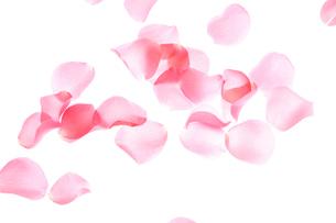 薔薇の花びらの写真素材 [FYI01372641]