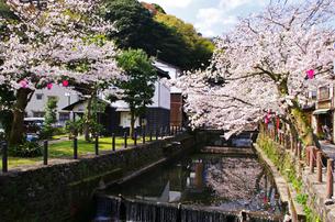 城崎温泉の桜と大谿川の写真素材 [FYI01372733]