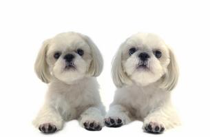 犬(シーズ)の写真素材 [FYI01373505]