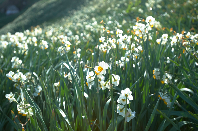 爪木崎の水仙群生地花の写真素材 [FYI01374051]