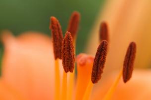 オレンジ色の花のクローズアップの写真素材 [FYI01374384]