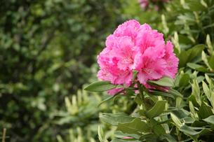 ピンク色の花の写真素材 [FYI01375611]