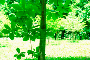 ホオノキの写真素材 [FYI01375613]