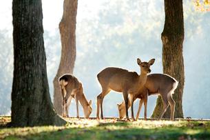 奈良公園の鹿の写真素材 [FYI01375720]