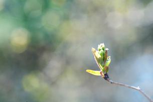 陽射しを浴びる新芽の写真素材 [FYI01375884]