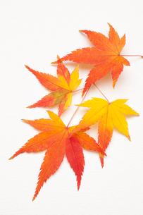 秋色モミジの写真素材 [FYI01376301]