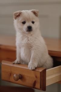 子犬の写真素材 [FYI01376352]
