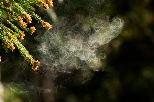 杉花粉の写真素材 [FYI01376663]