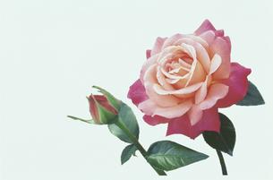 一輪のピンクのバラと蕾と葉の写真素材 [FYI01377908]