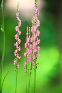 ネジ花の写真素材 [FYI01378113]