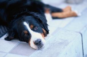 動物 犬の写真素材 [FYI01378305]