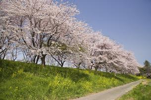 桜並木の写真素材 [FYI01378845]