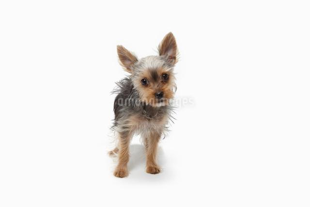 立つヨークシャテリアの子犬の写真素材 [FYI01378956]