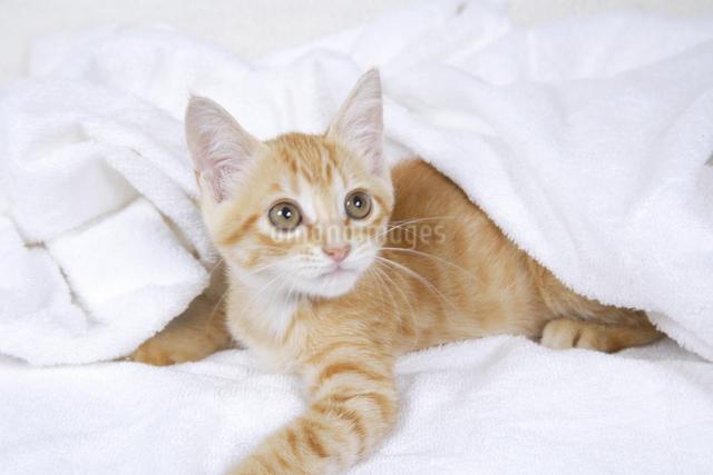 白いタオルに包まった子猫の写真素材 [FYI01379982]