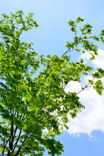新緑の木々と青空と白い雲の写真素材 [FYI01380302]