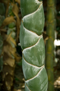 亀甲竹の写真素材 [FYI01381077]