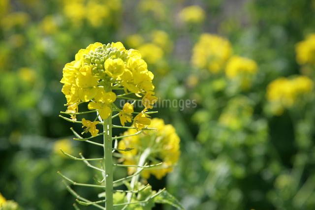 菜の花の写真素材 [FYI01381671]