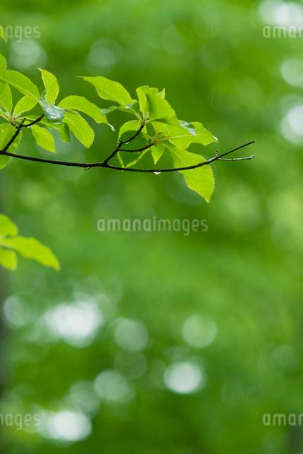 水滴が落ちそうな新緑の樹の枝の写真素材 [FYI01384253]