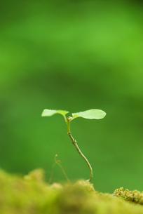 新緑の中の双葉の写真素材 [FYI01384671]