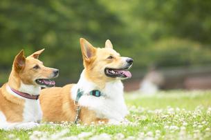 2匹の犬の写真素材 [FYI01385867]