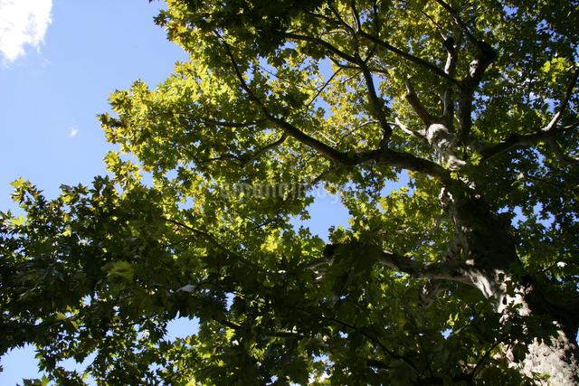 新緑の木と青空の写真素材 [FYI01386333]