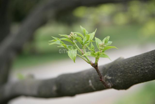 新芽の写真素材 [FYI01386548]