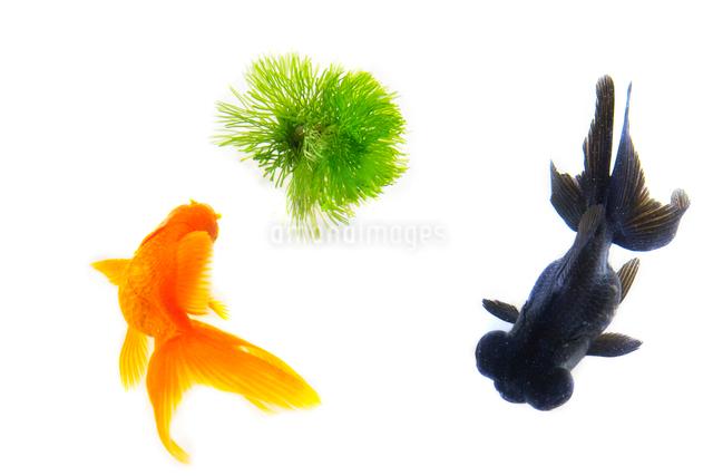 金魚の写真素材 [FYI01387029]