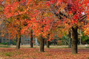 広大跡地の紅葉の写真素材 [FYI01387392]