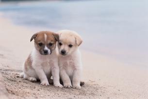 海辺にいる雑種の子犬2匹の写真素材 [FYI01387569]