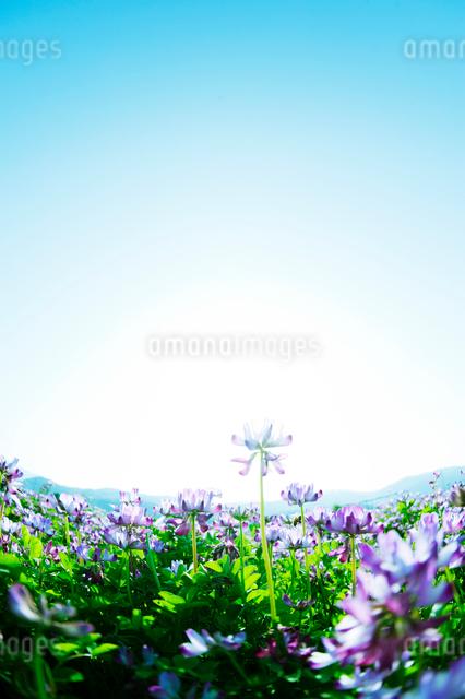レンゲ畑の写真素材 [FYI01388101]