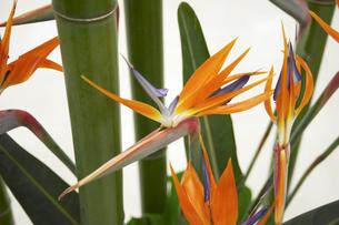 ゴクラクチョウカと竹の写真素材 [FYI01388892]