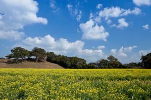 展海峰の菜の花の写真素材 [FYI01389573]