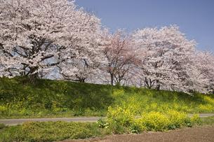 桜並木と菜の花の写真素材 [FYI01390341]