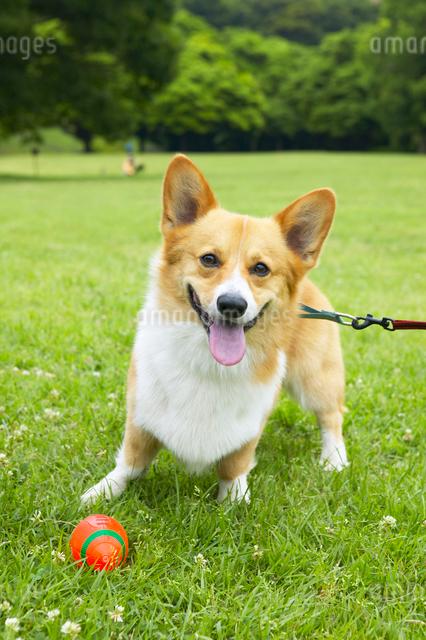 犬とボールの写真素材 [FYI01391253]