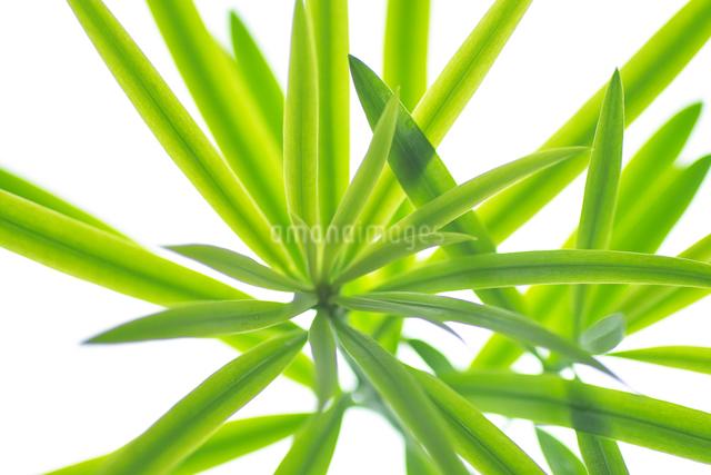 葉(イヌマキ)の写真素材 [FYI01392266]