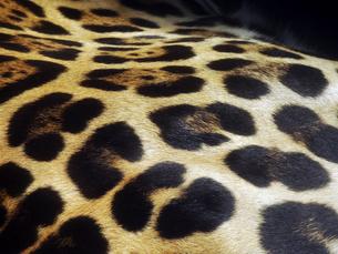 ジャガーの胴体の模様の写真素材 [FYI01393564]