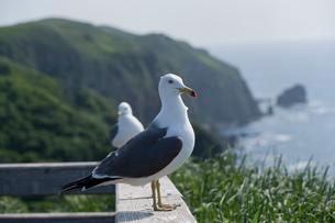天売島のウミネコの写真素材 [FYI01393669]