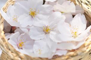 かごの中の桜の花の写真素材 [FYI01394055]