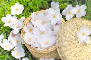 かごの中の桜の花の写真素材 [FYI01396350]