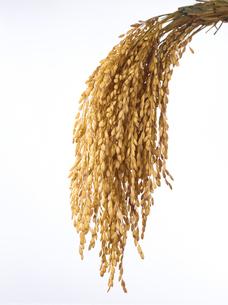 頭をたれる稲穂の束の写真素材 [FYI01396591]