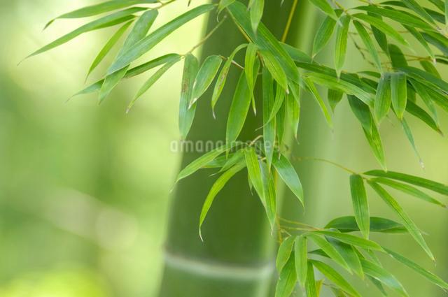 笹の写真素材 [FYI01398320]